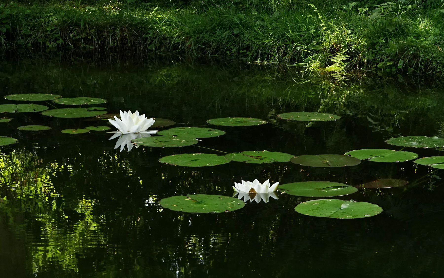 Вот и лето пришло!!! озеро лилии