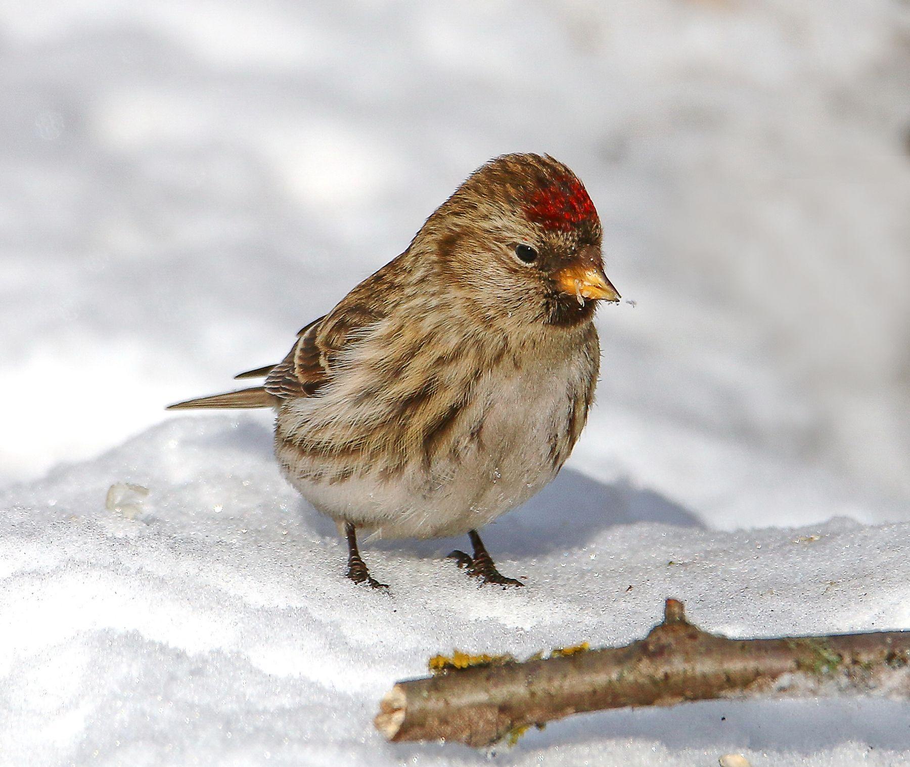 зима вернулась птицы чечетки снег зима