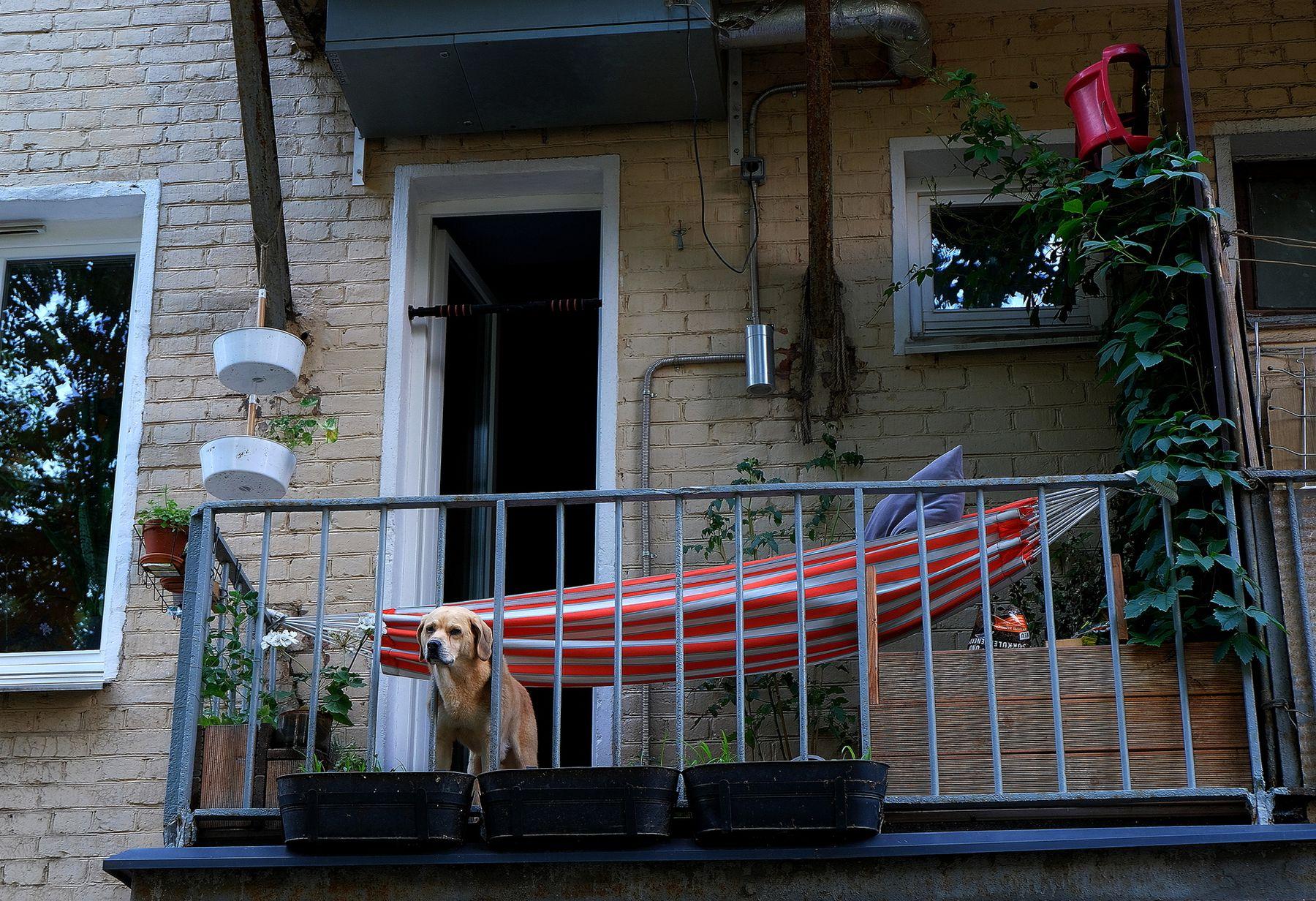 Сторож Дангауэровка Москва собака на балконе