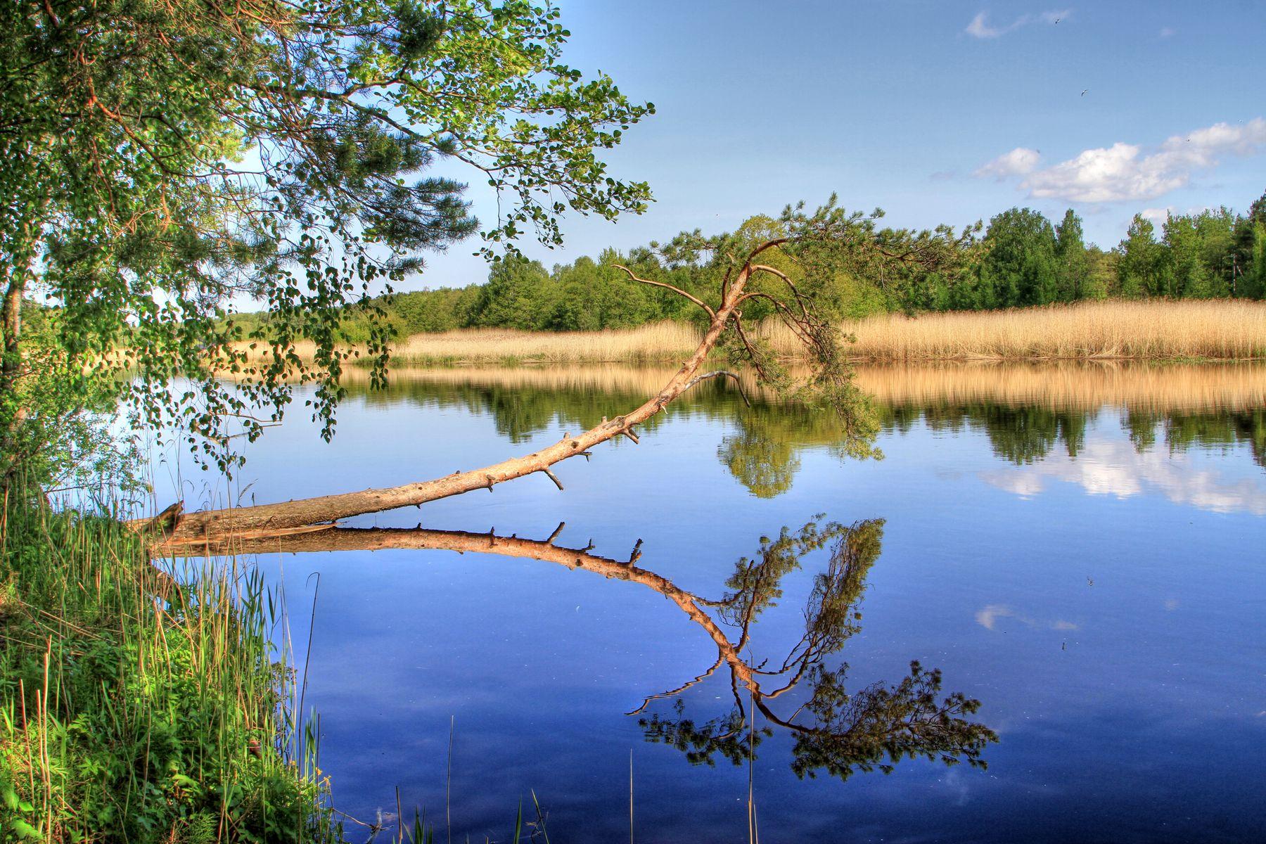 Сосна Река