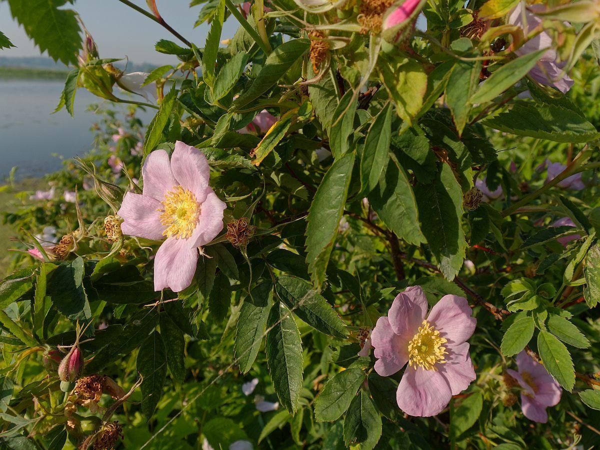 Цветущий шиповник природа затон утро шиповник