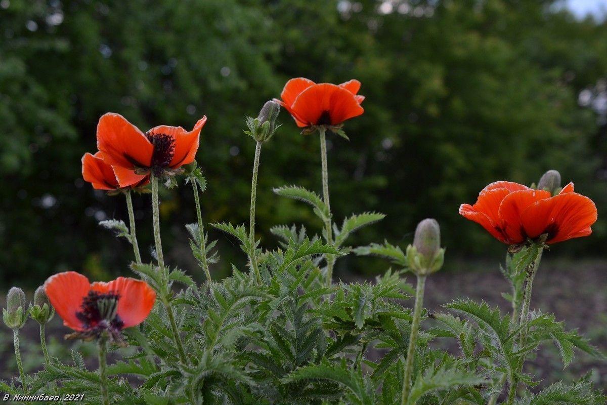 Маки природа лето цветы.маки