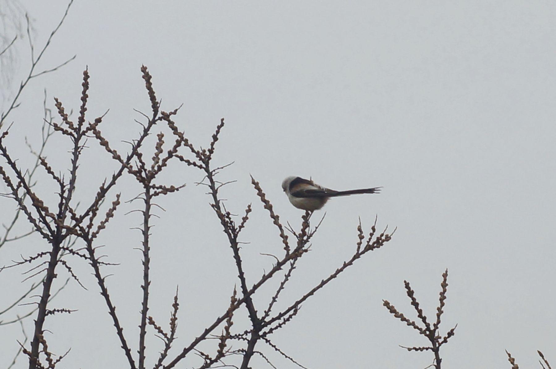 Ополовник ополовник птица весна лес