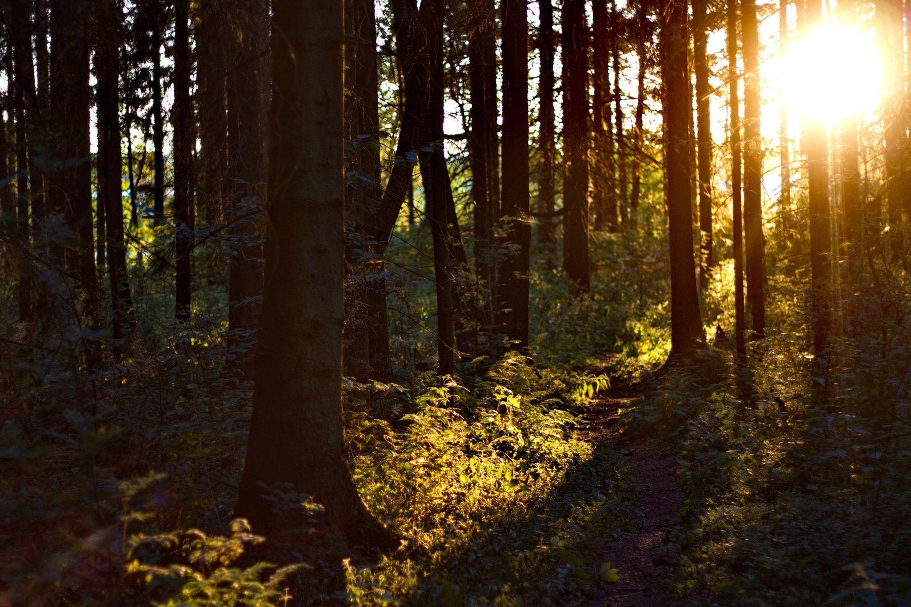 закатный лес
