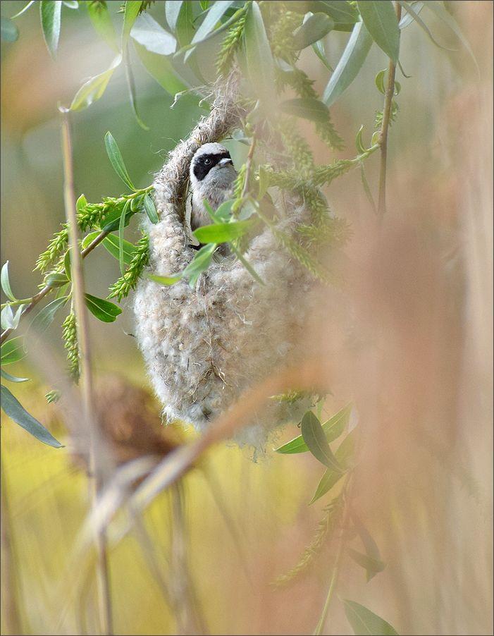 ремез самец ремез птица Польша гнездо весна Бытом