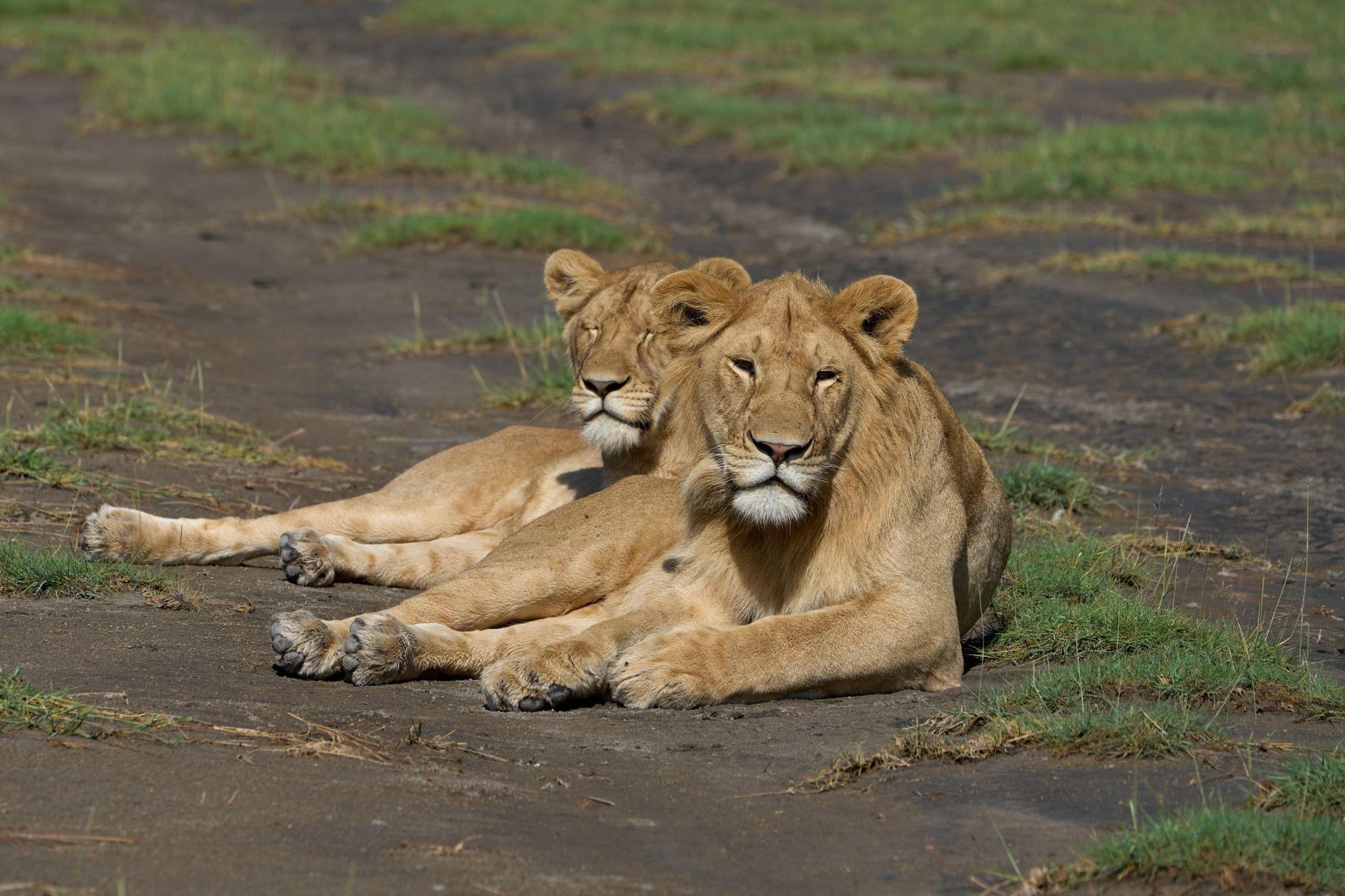 Львы Танзания Нгоронгоро Африка природа животные кошки львы
