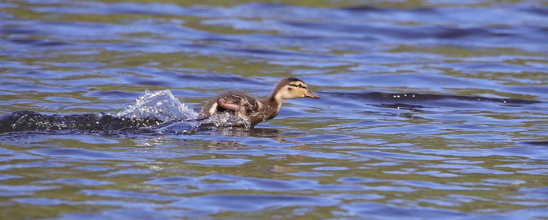 """олимпийский резерв"" птицы водоплавающие утки птенец"