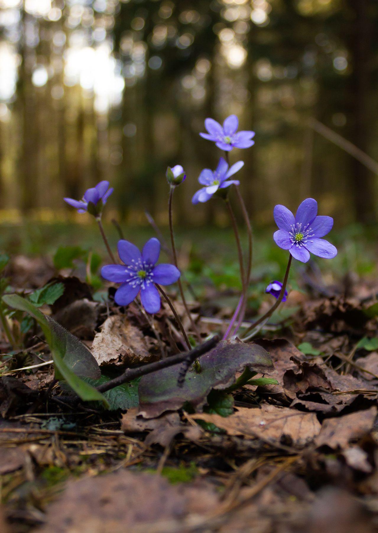 Первоцветы лес весна цветы