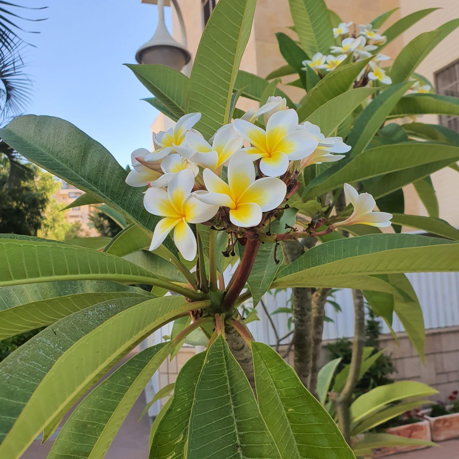 Плюмерия цветы плюмерии