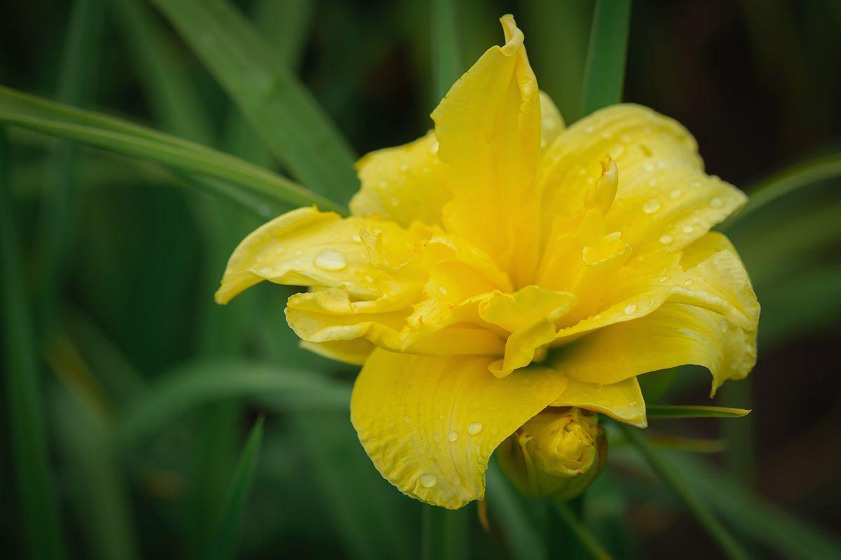 *** цветок растение желтый цветение красота природа крупным планом макро капли дождь