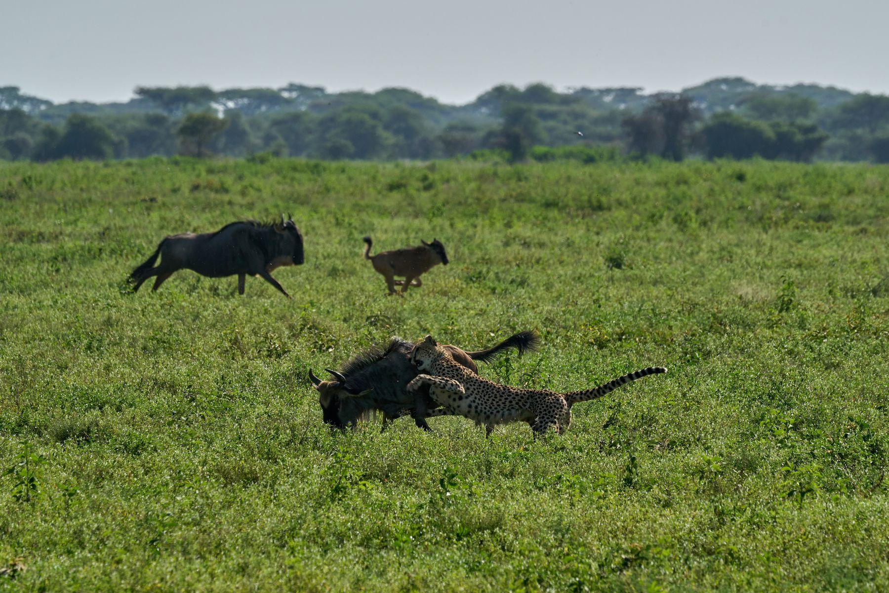 Гепард охотится Танзания Нгоронгоро Африка природа животные кошки гепарды охота гну антилопа