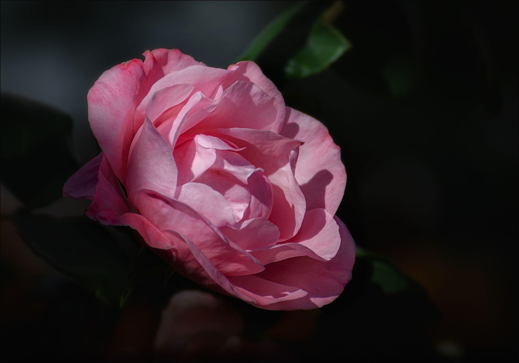 Сентябрьская роза. цветы природа