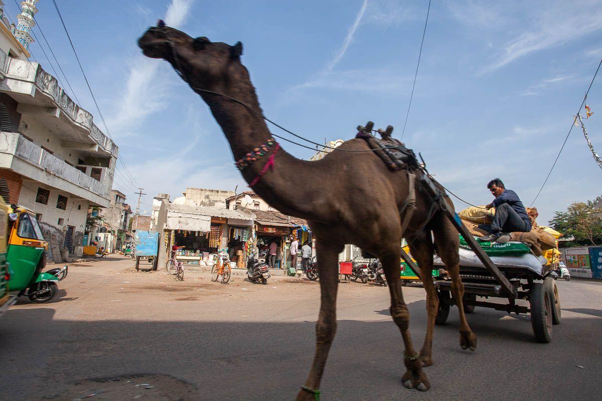 Индия Индия верблюд животное город патан улица телега путешествия