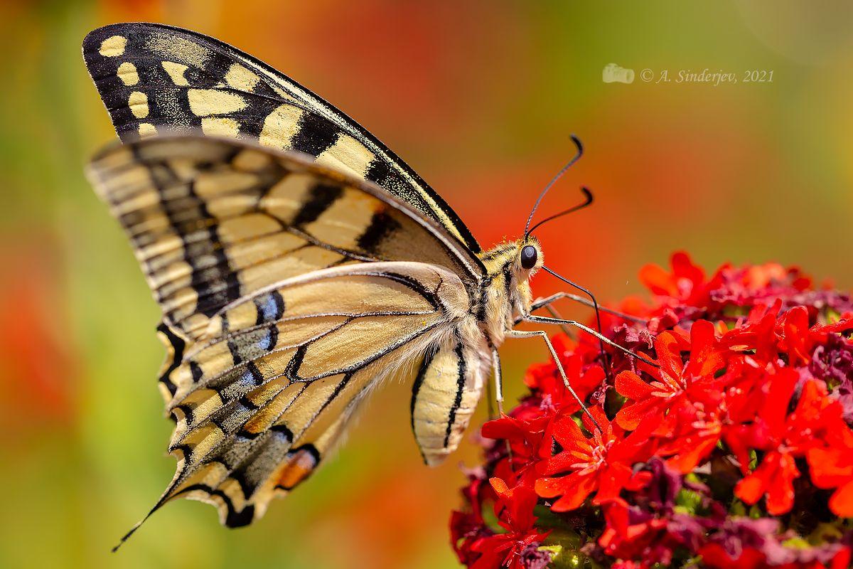 Махаон бабочка макро