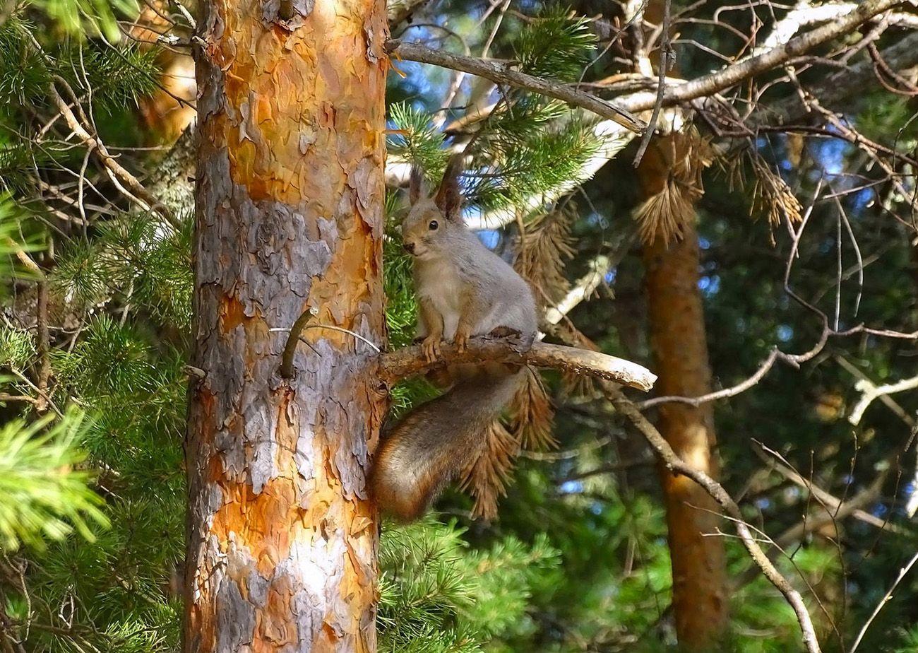 Белка таёжная Сибирь дикие животные белка