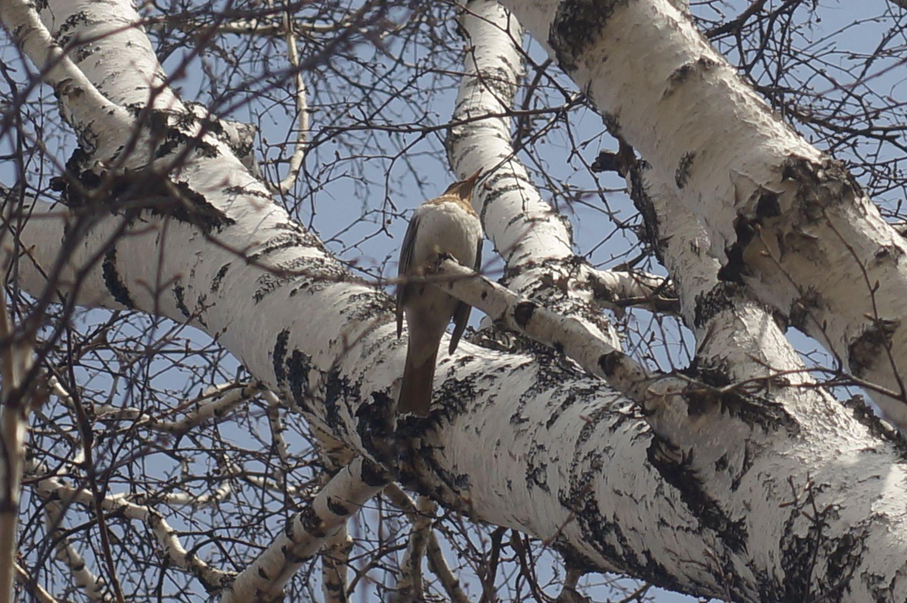 Краснозобый дрозд краснозобый дрозд птица весна лес берёза