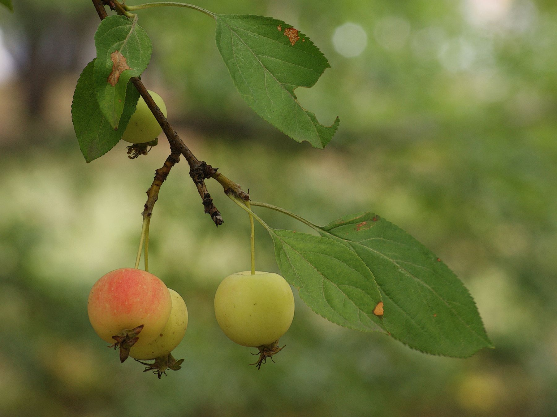 Яблочки август яблоки