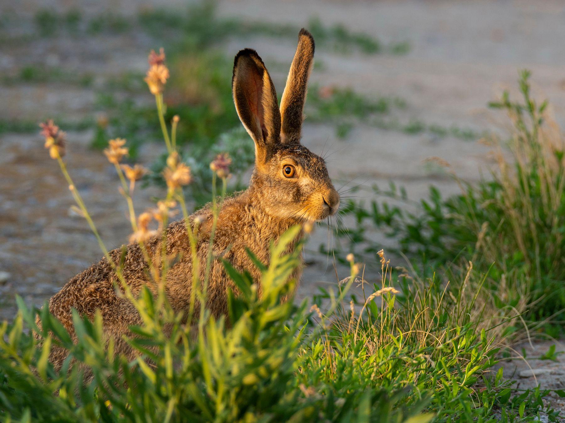 Закатный русачок заяц русак