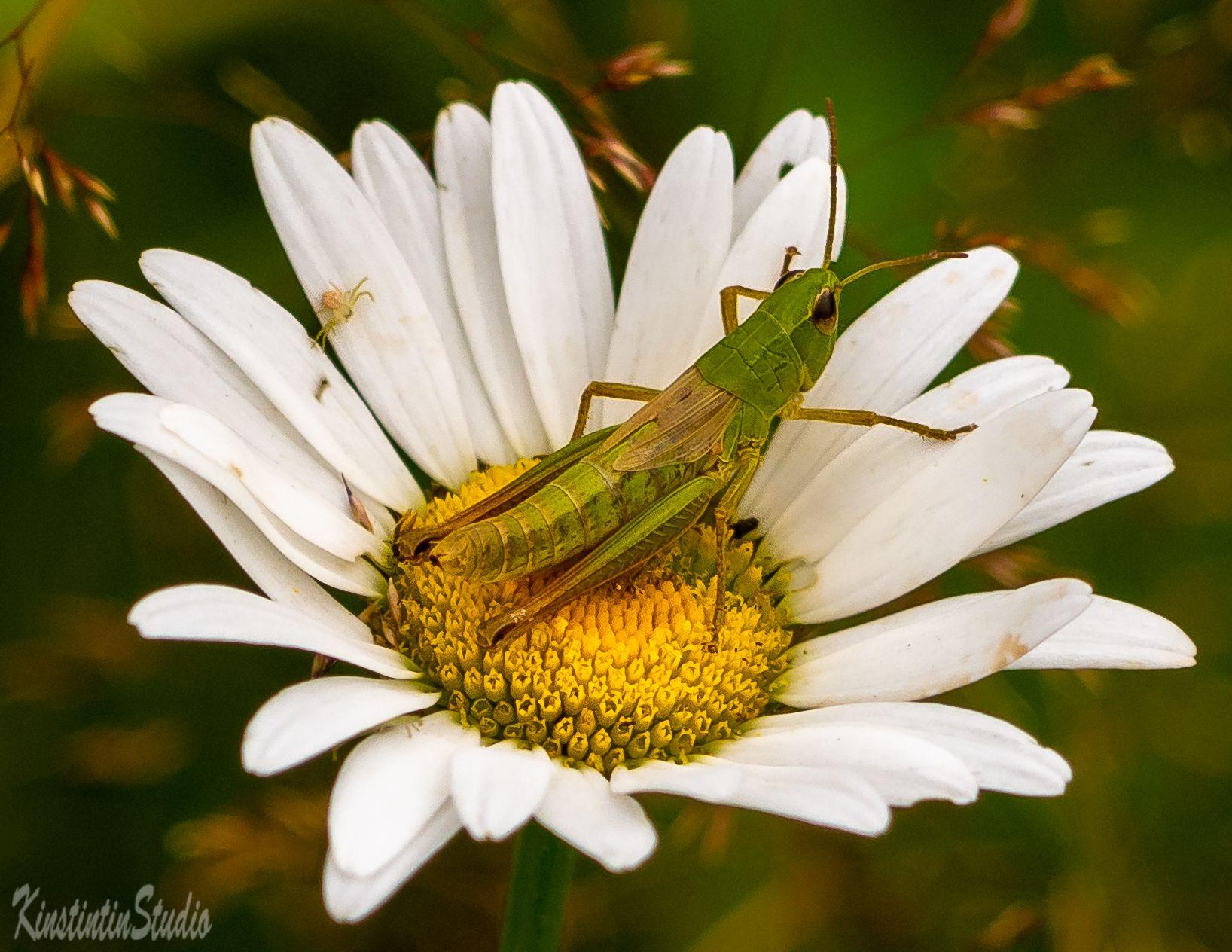 ***Ромашка...Кузнечик и...паучок!*** ромашка паук кузнечик лето июль