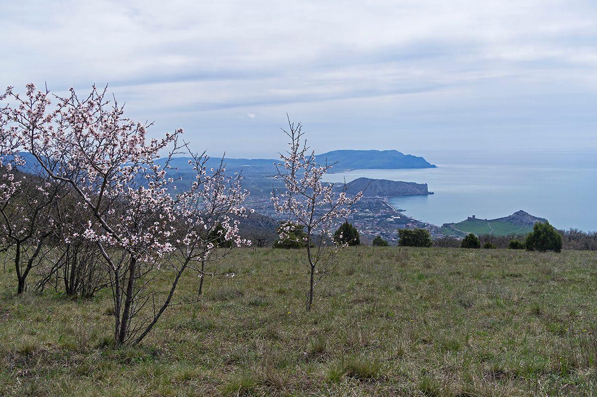 Цветущий миндаль. Вершина горы Перчем, Судак, Крым.
