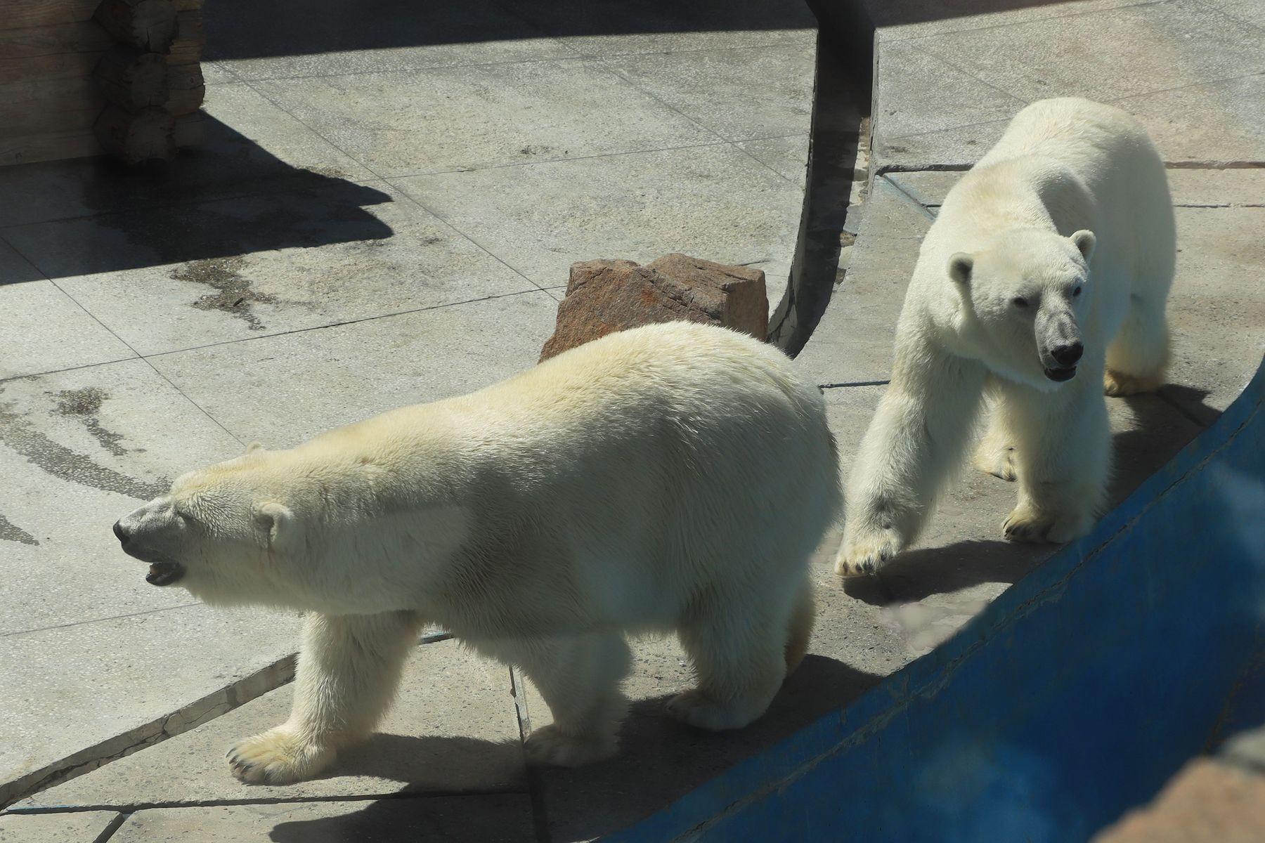 В Челябинском зоопарке.. белые медведи