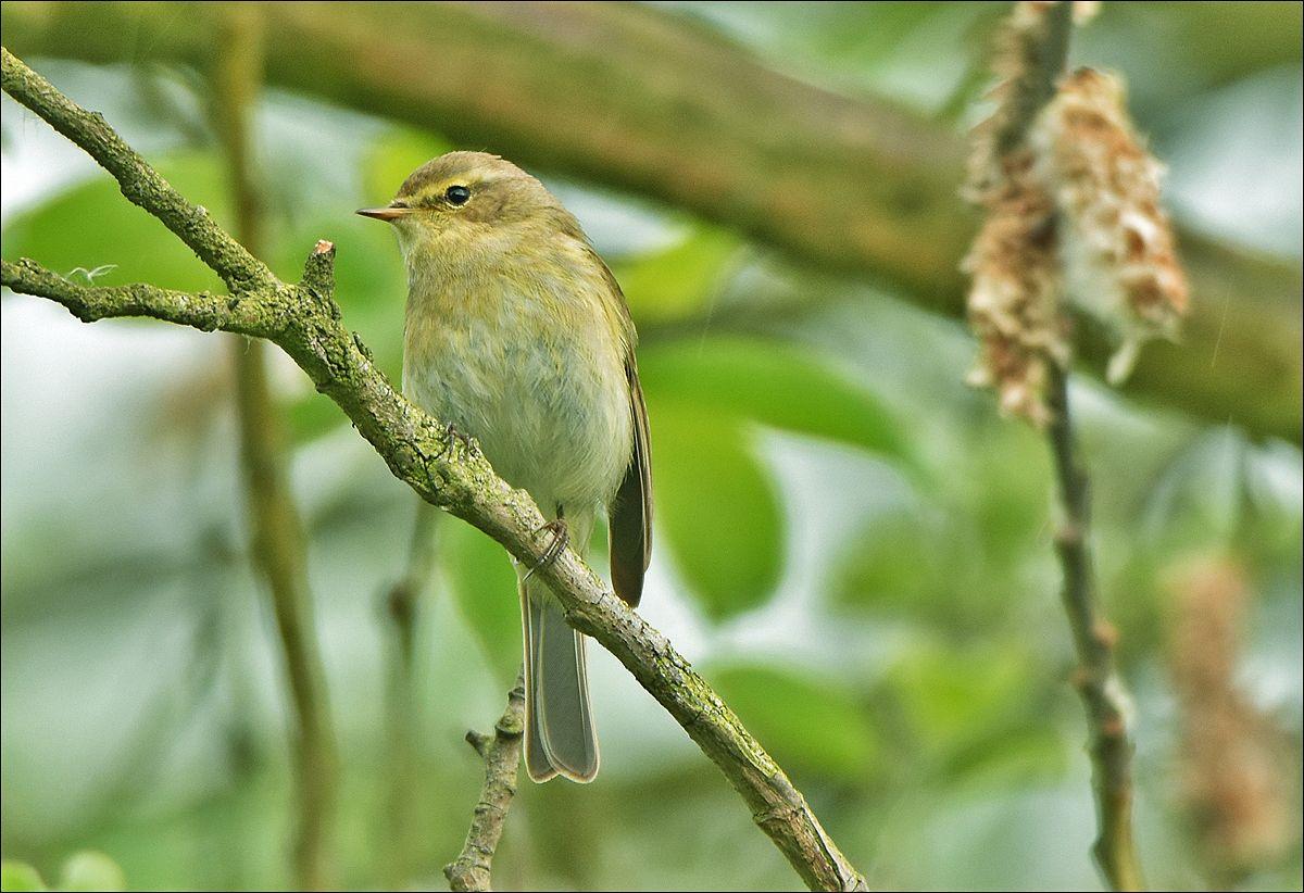 пеночка-теньковка птичка птица Польша пеночка-теньковка лес весна Бытом