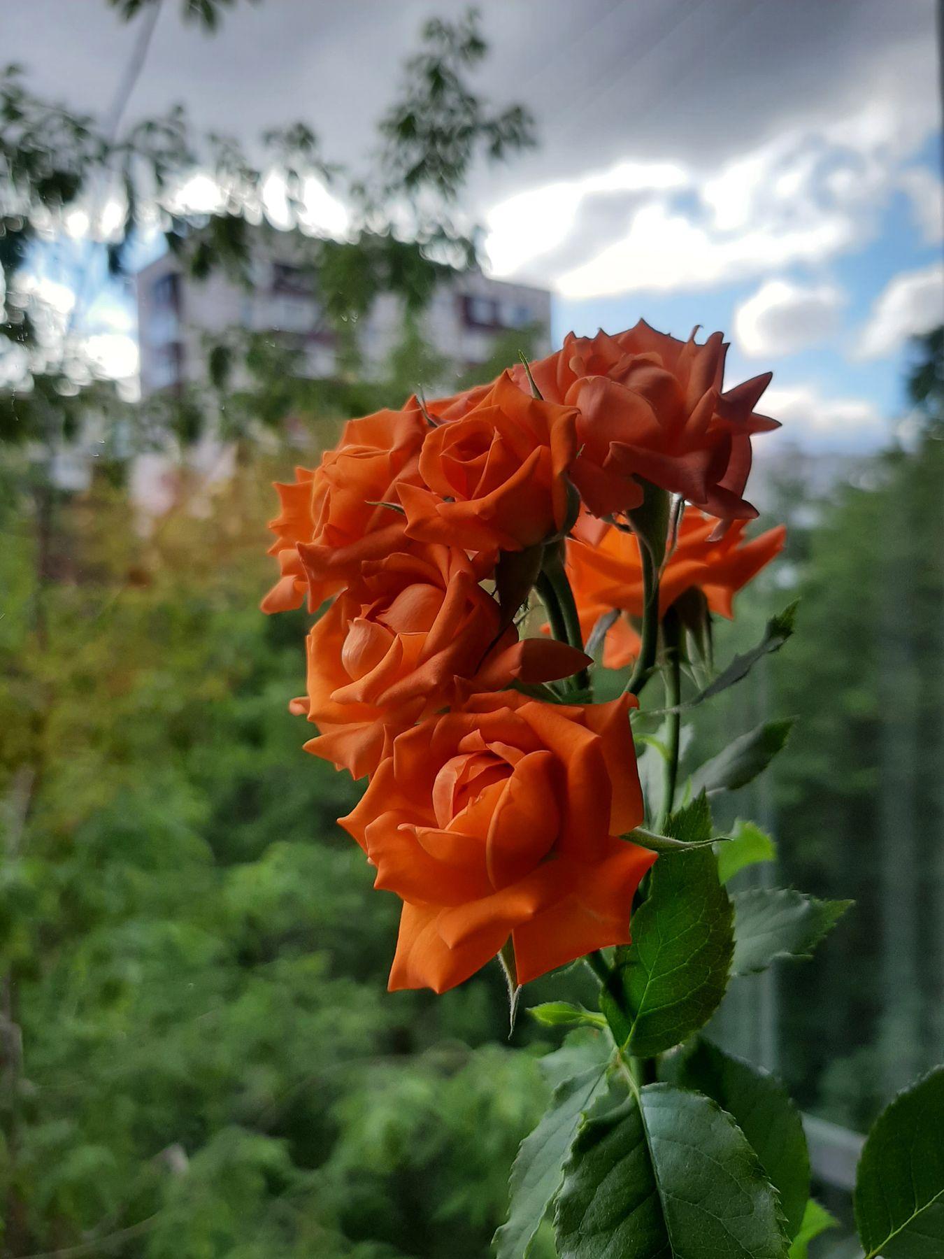 Моя красавица роза) На одной ветке семь бутонов)
