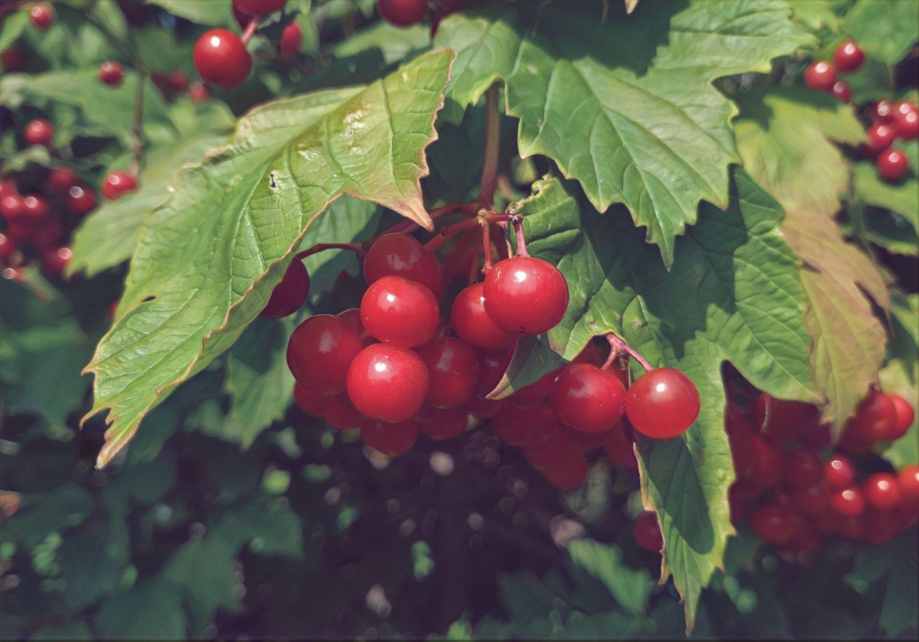 """""""Temptation"""" август вдохновение творчество гроздья калины красные бусины"""