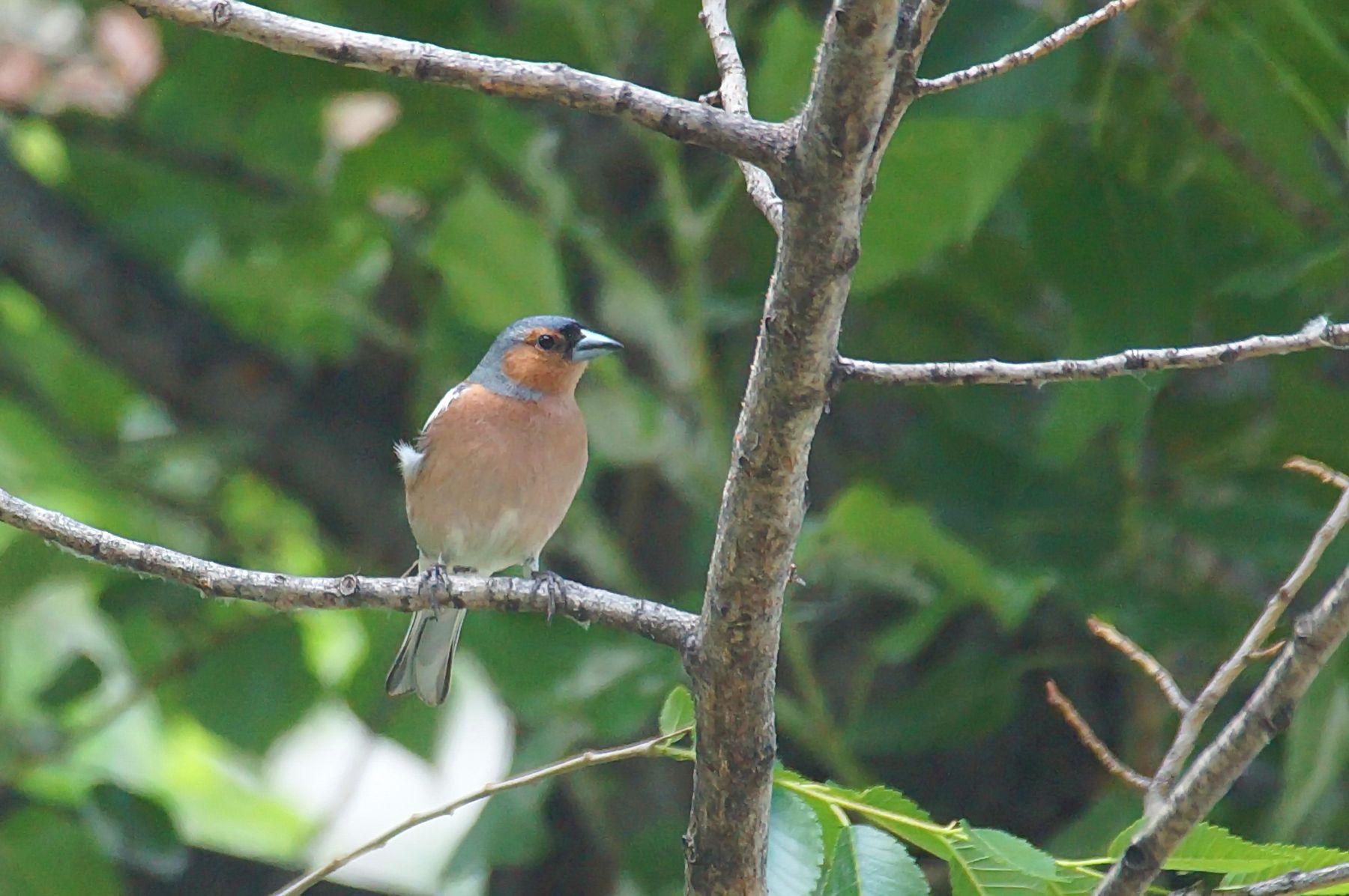 Зяблик, самец Волгоград птицы весна зяблик