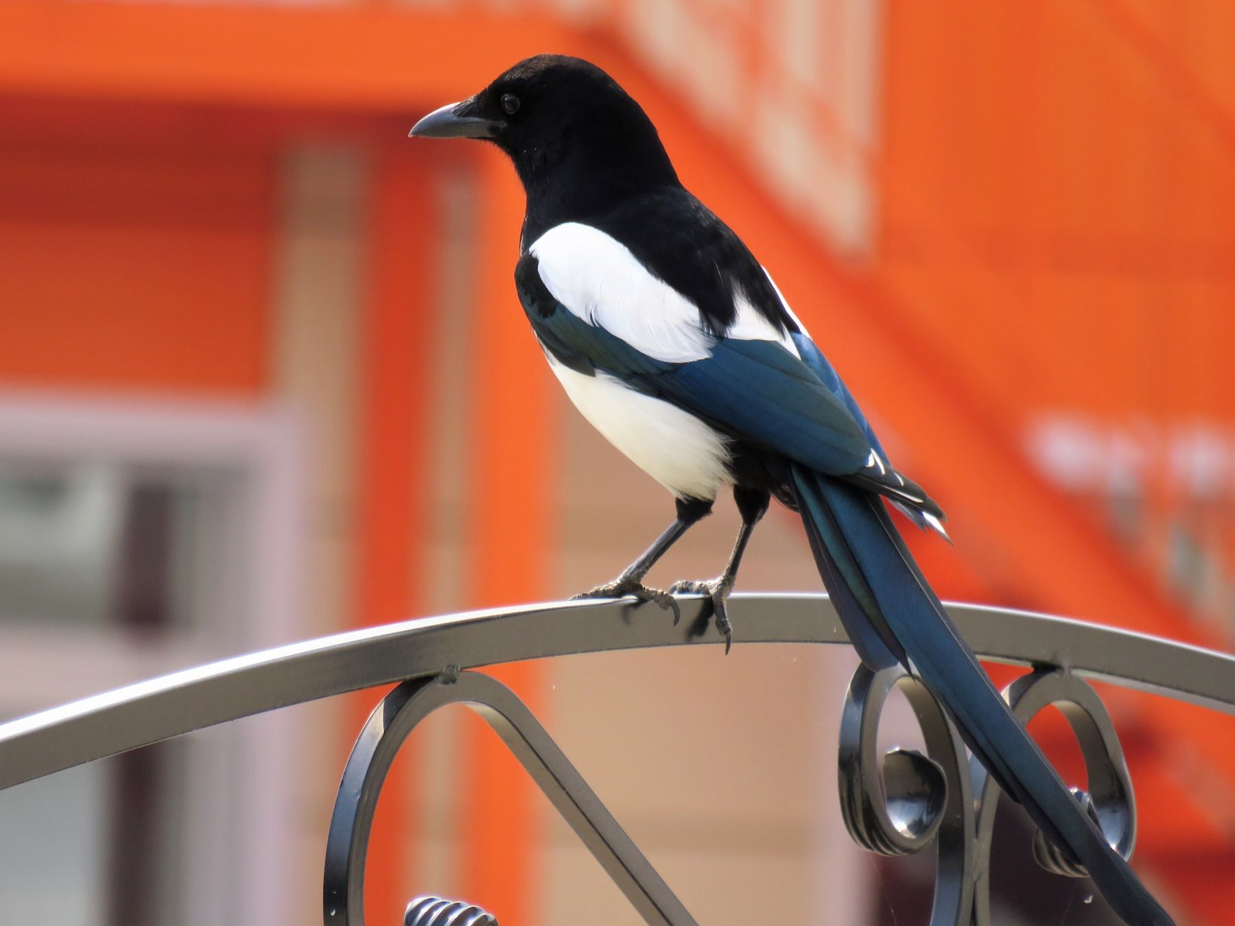 Сорока птицы сорока лето