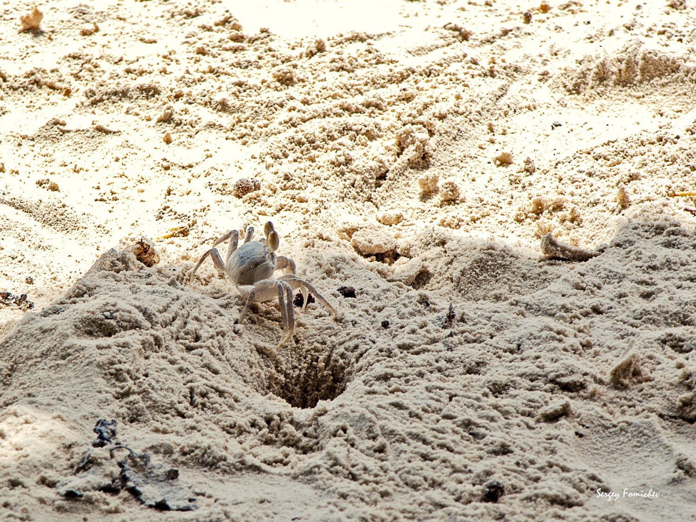 Песчаный краб***