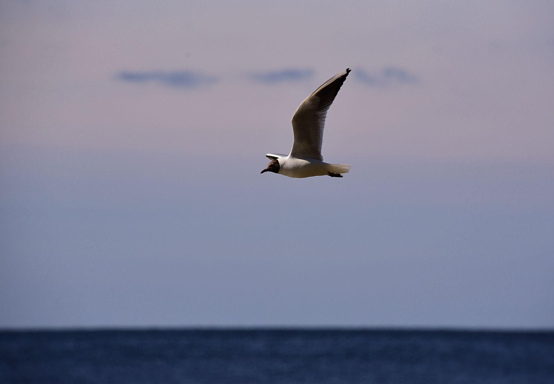 чайка чайка природа птицы фотоохота