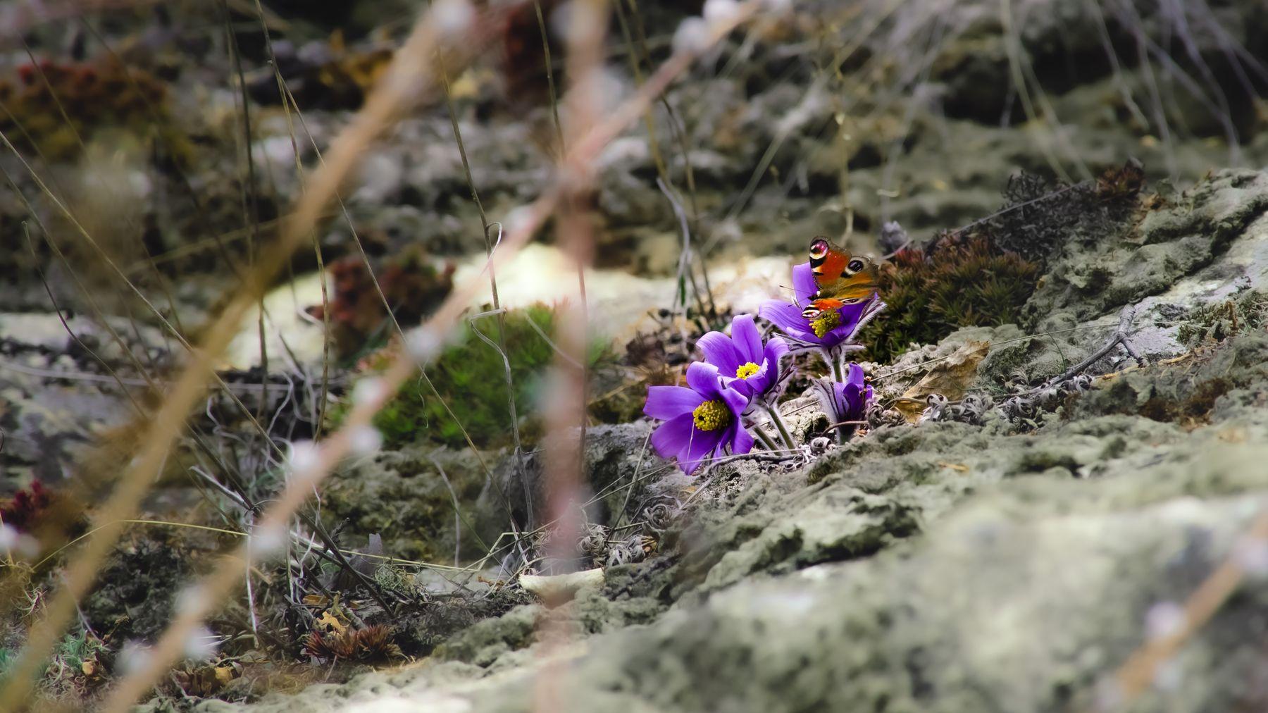 бабочка на подснежнике подснежник