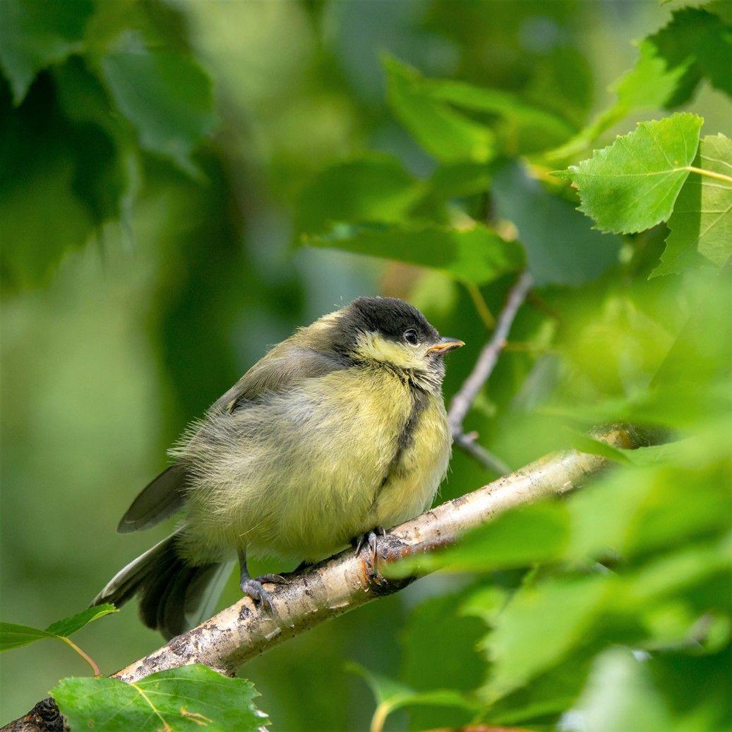 Слёток синички Птицы лес природа