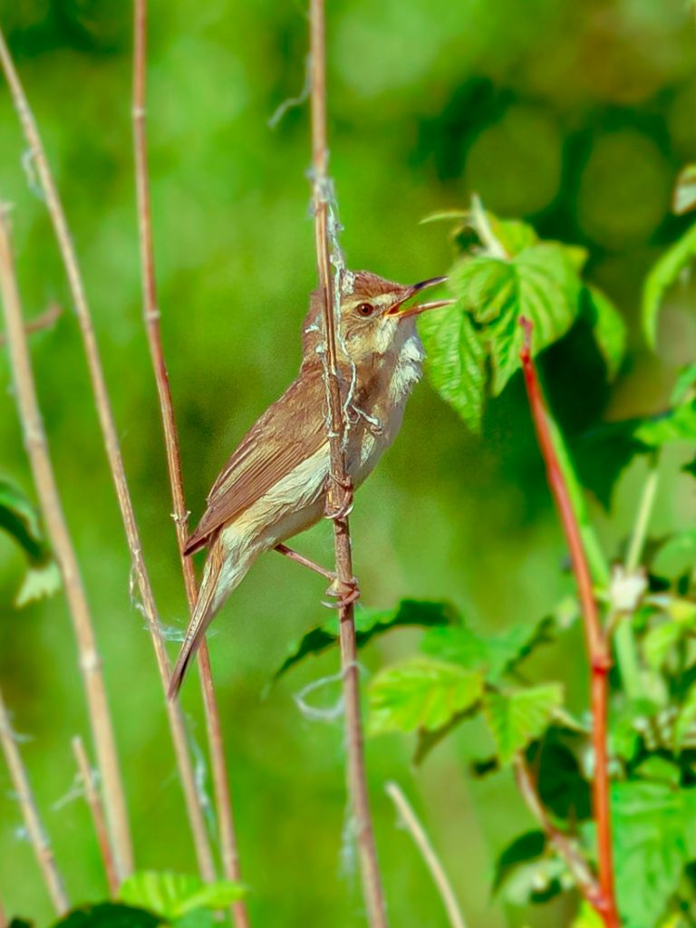 Пеночка-теньковка  (Phylloscopus collybita) Птицы лес природа