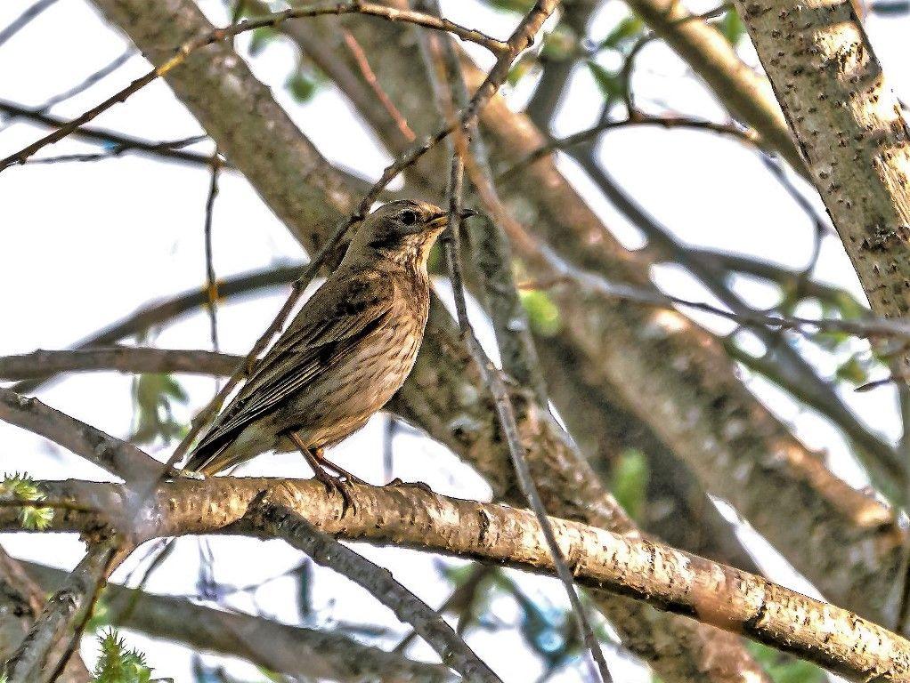 Лесной конёк / Anthus trivialis/ Птицы лес природа
