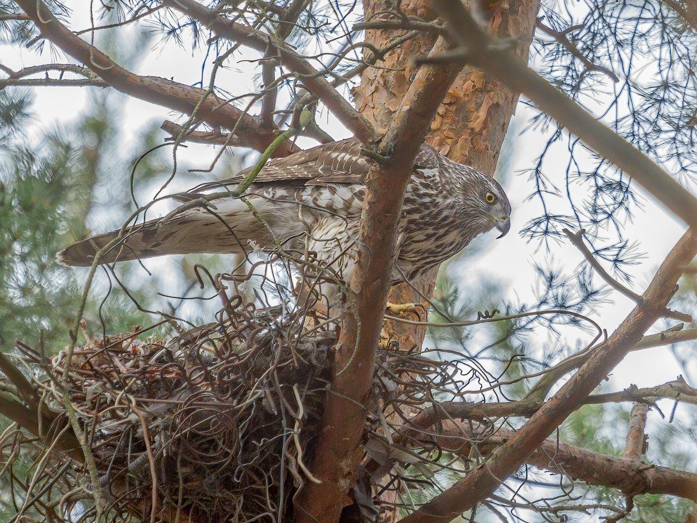Стальное гнездо ястреба