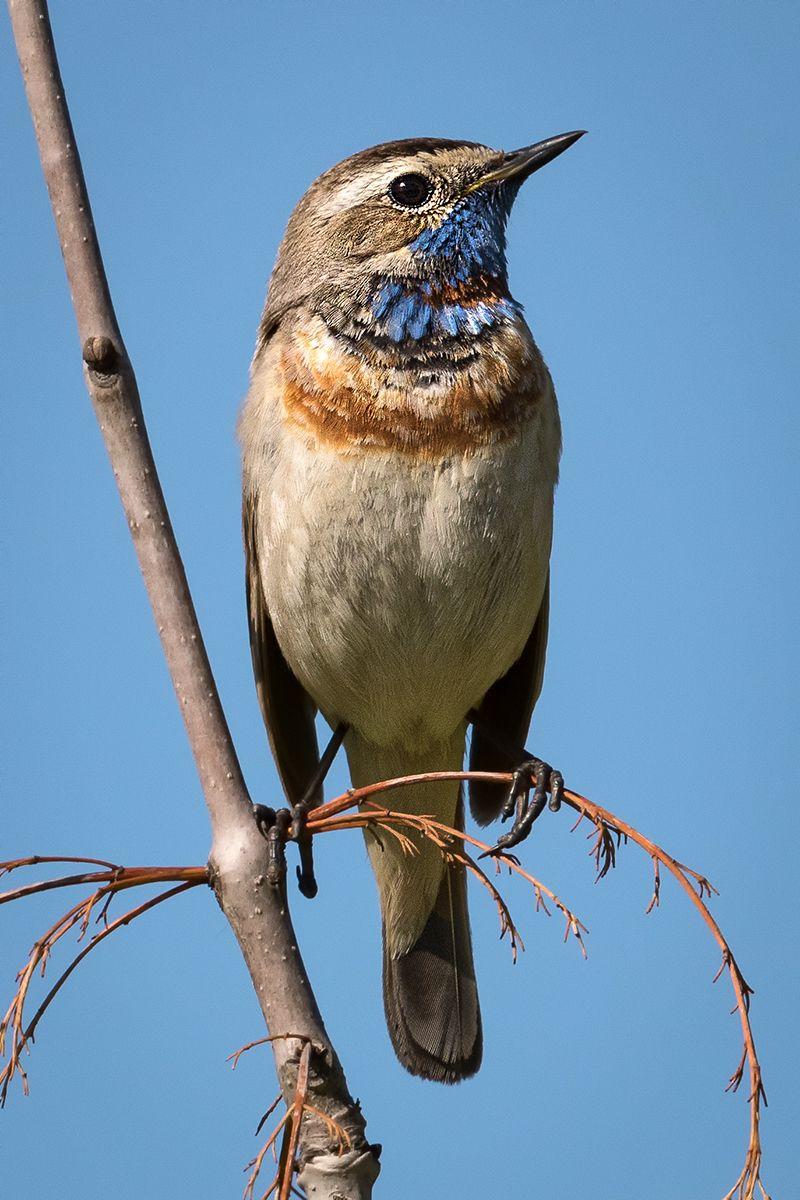 варакушка варакушка птицы птица пернатые