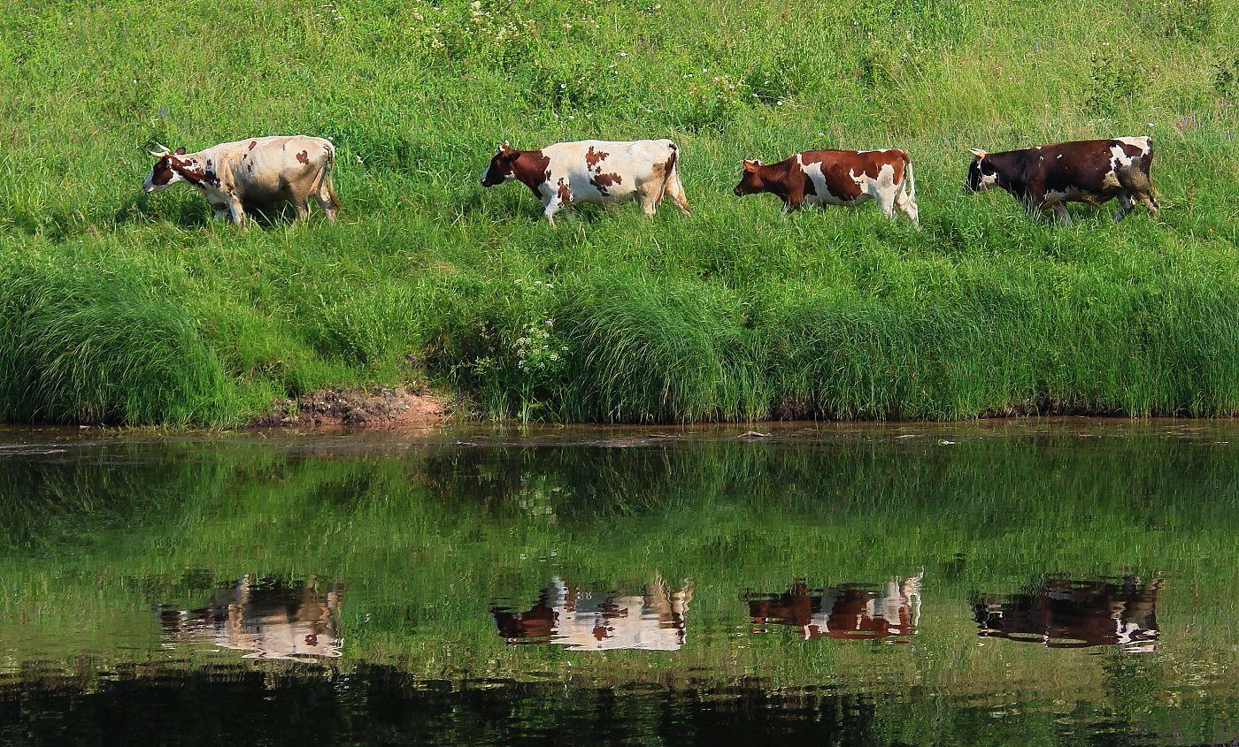 В кильватерном строю !!! животные коровы отражение