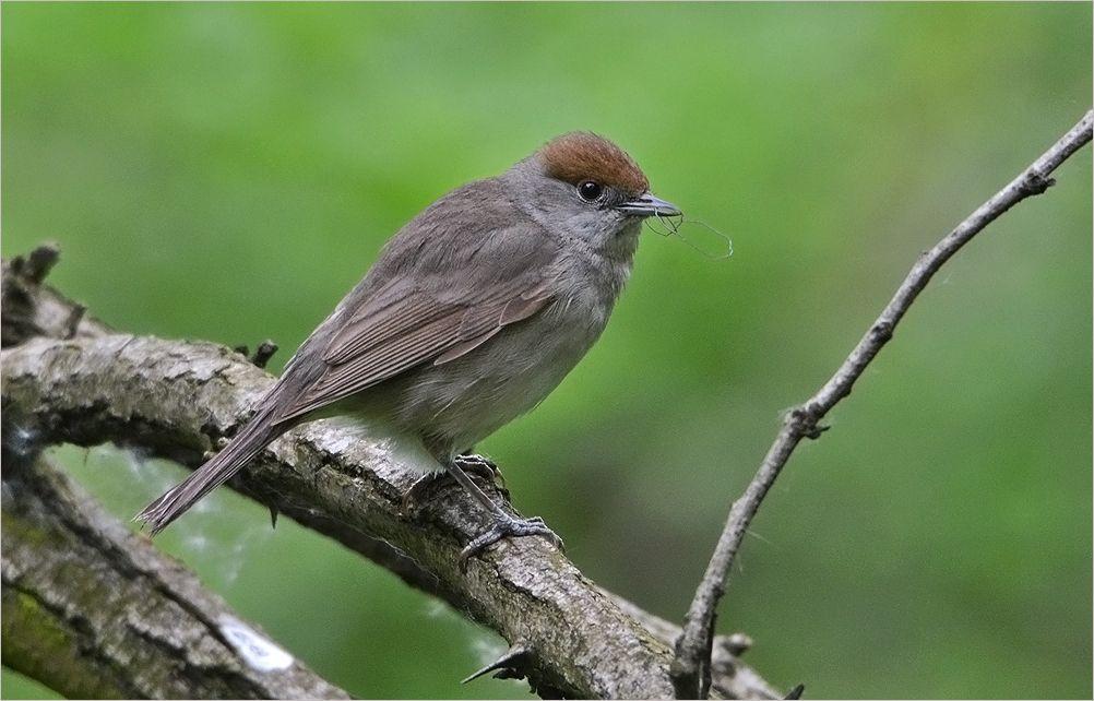 черноголовая славка черноголовая славка самка птица Польша весна Бытом