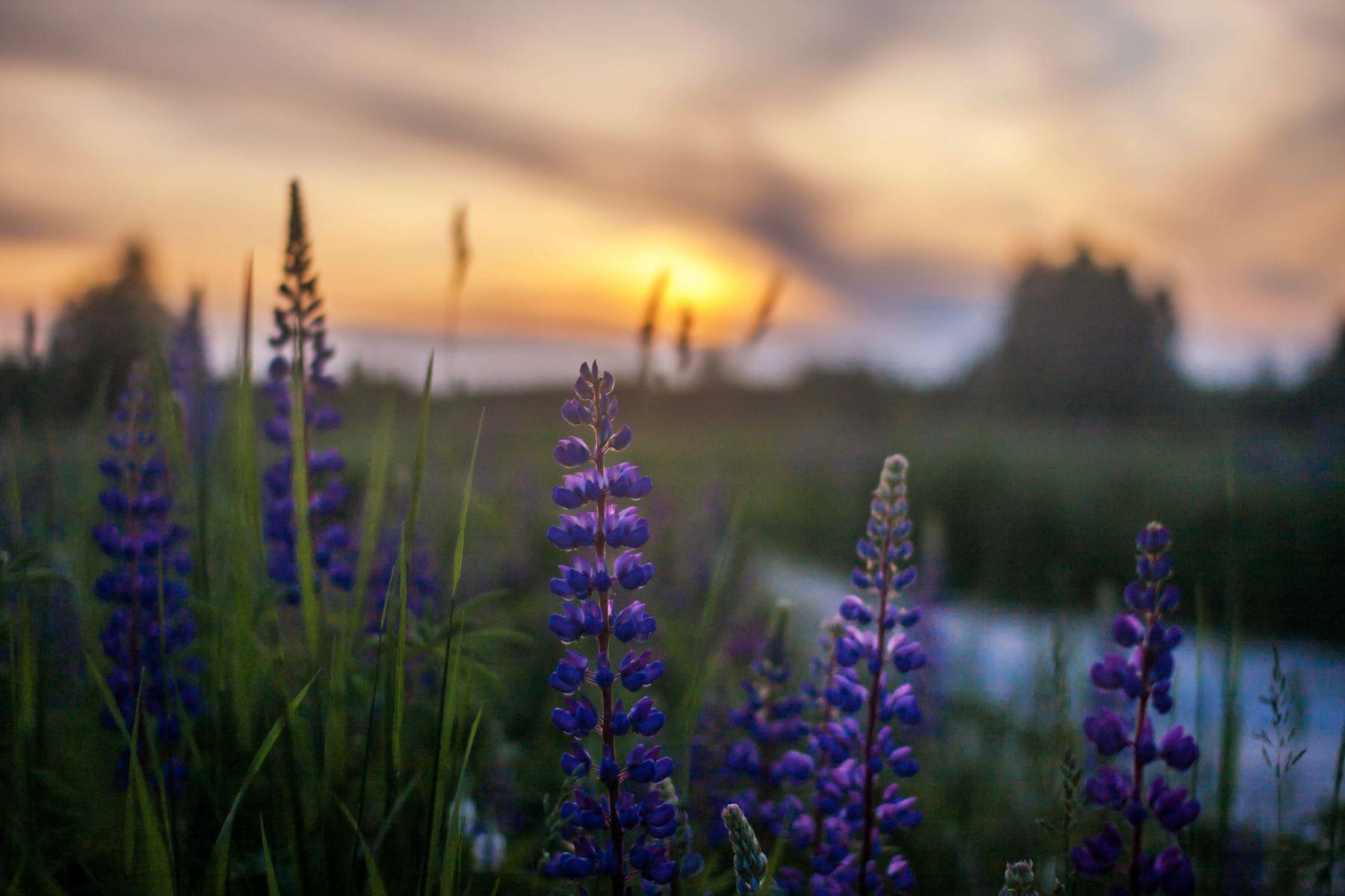Зацветают люпины на полях, на закате они особенно красивы