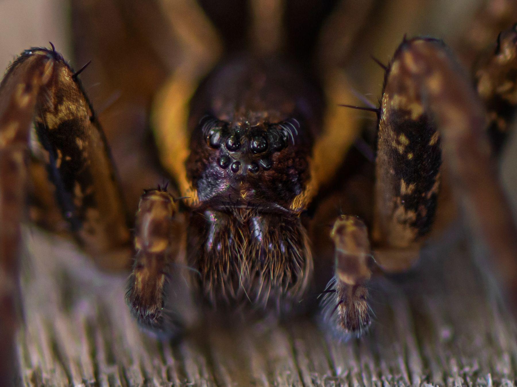 паук-волк паук природа макро