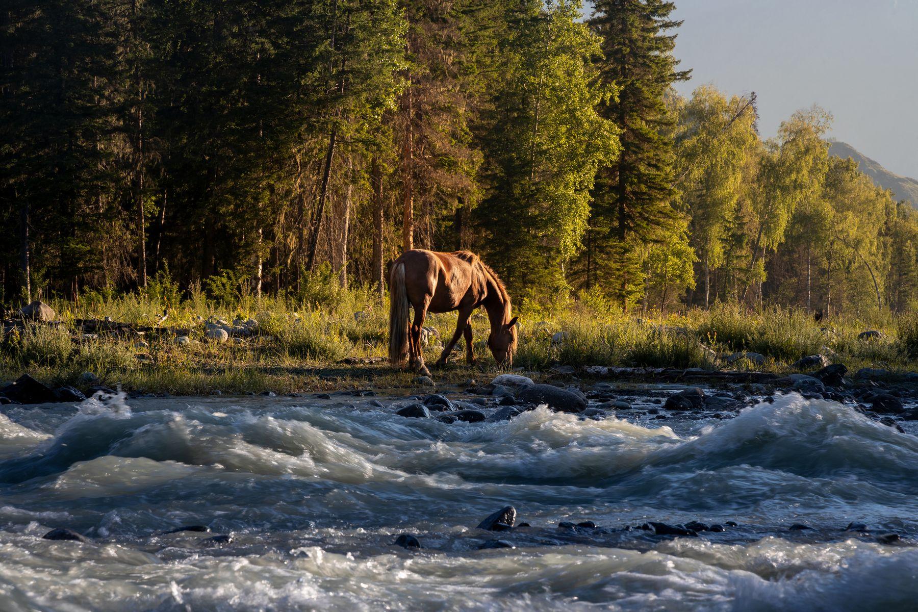 Лошади и молочные воды Аккема Рассвет Лошади Алтай Аккем