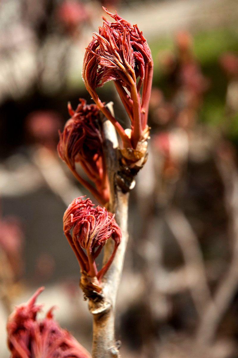 Деревовидный пион. весно ветка