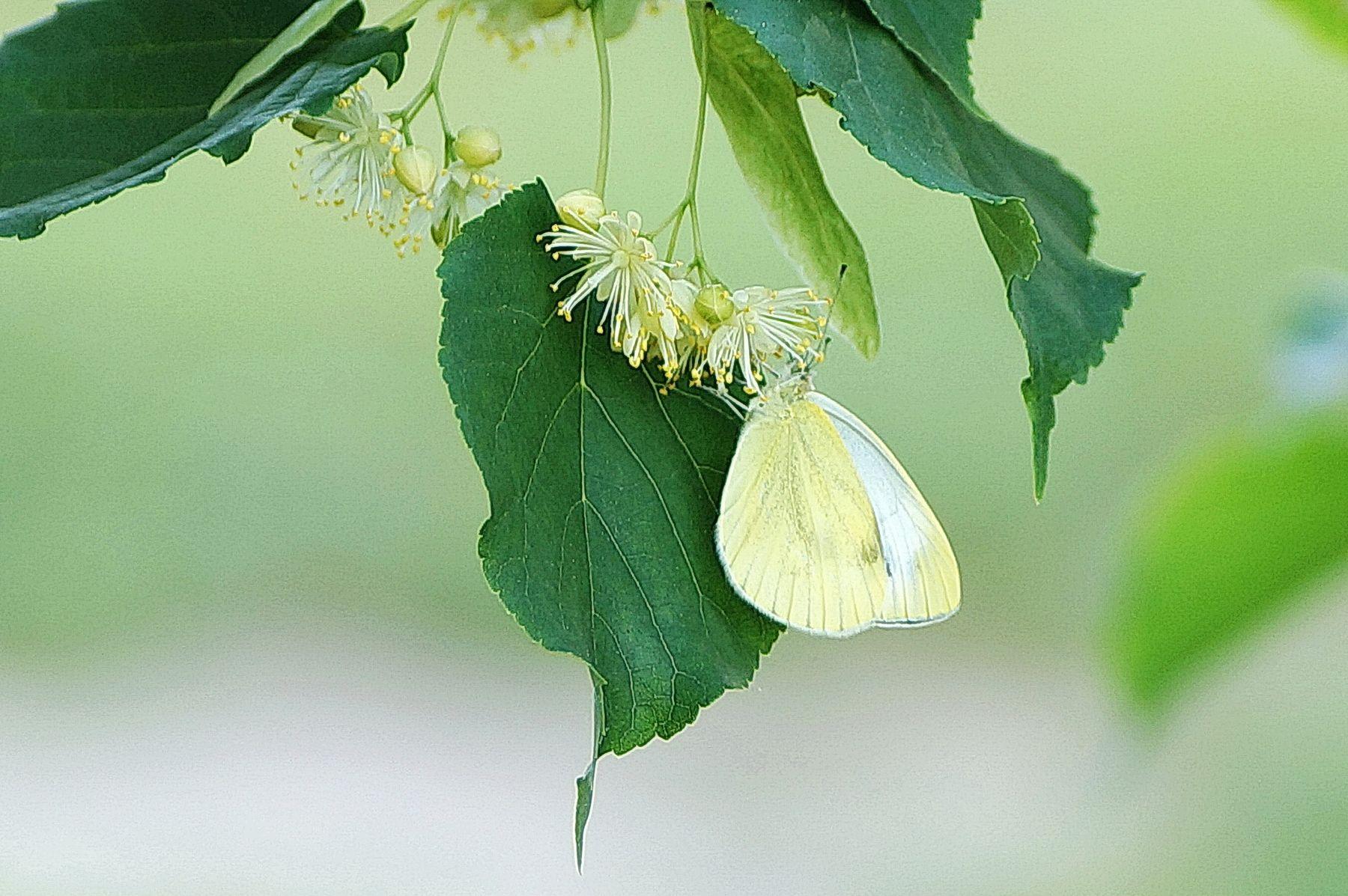 Бабочка-лимонница на цветках липы