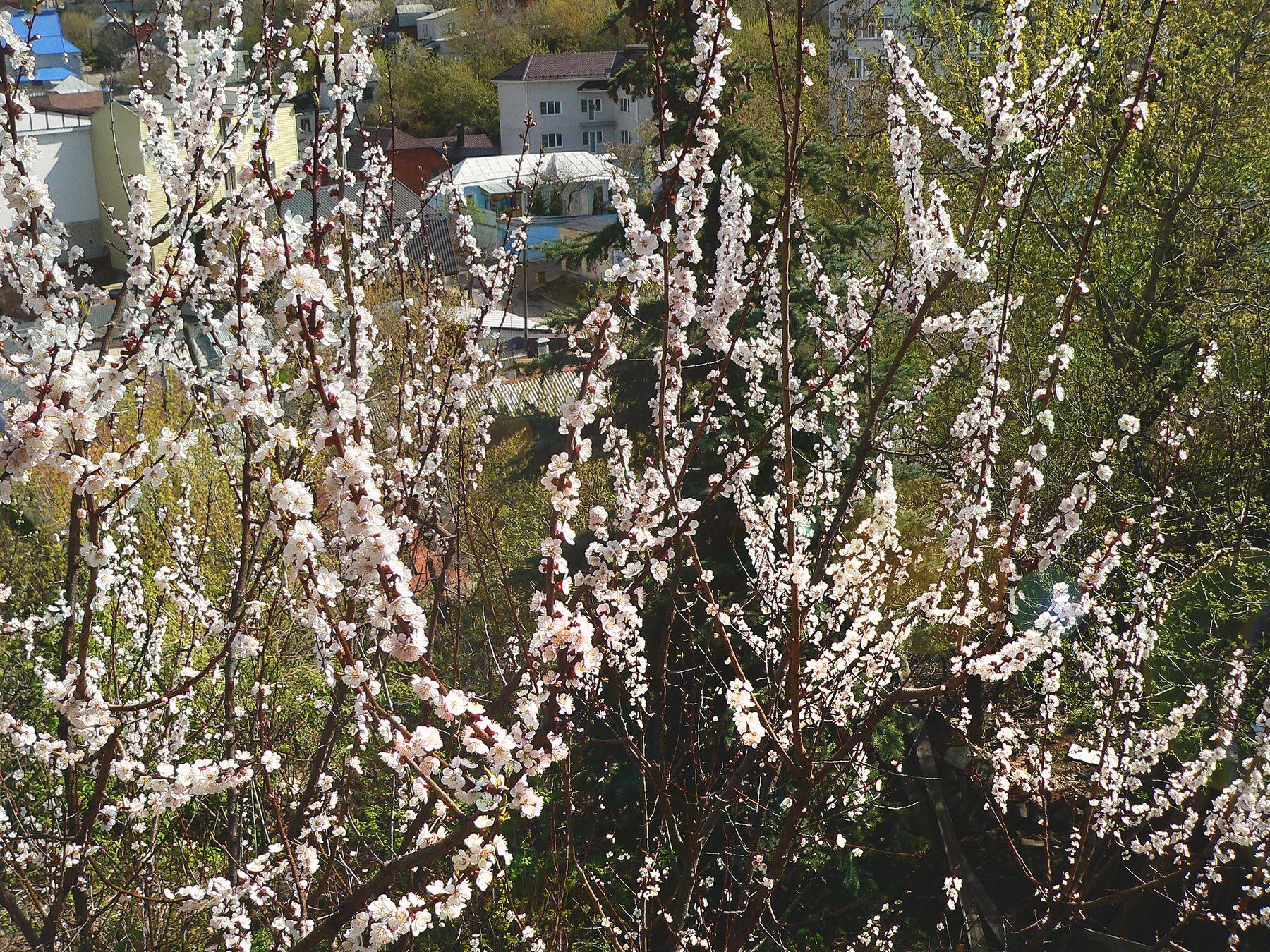 *** весна природа пейзаж цветущие деревья абрикос город сад
