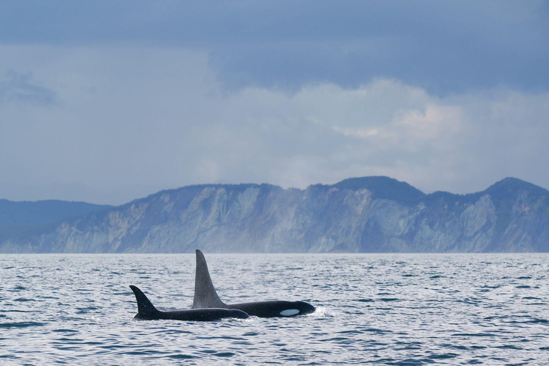 Косатки Косатка Orca killerwhale orcinusorca Камчатка Kamchatka океан Тихийокеан ocean Pacificocean SAL-70200G2