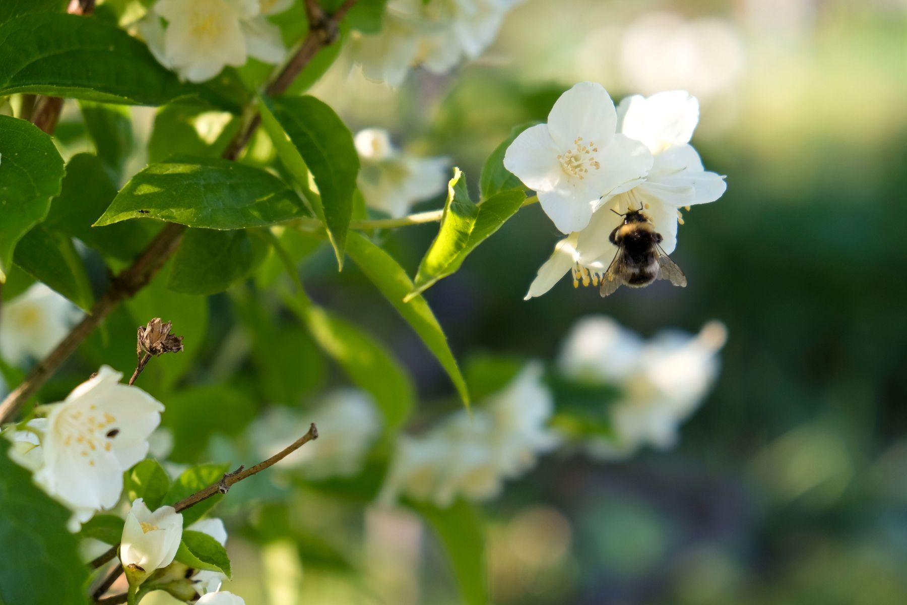 Шмель на цветке жасмина.