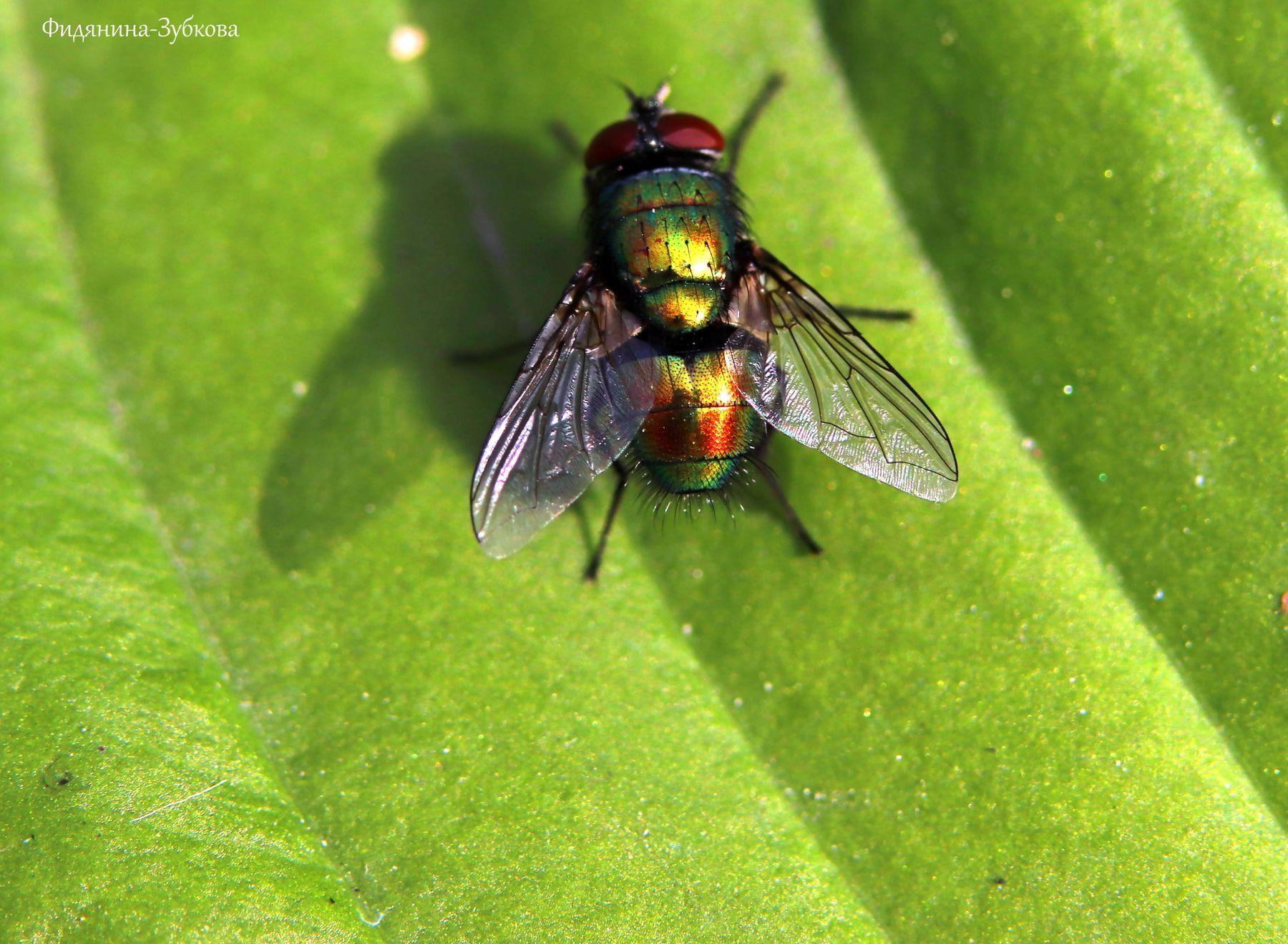 Зеленая мясная муха