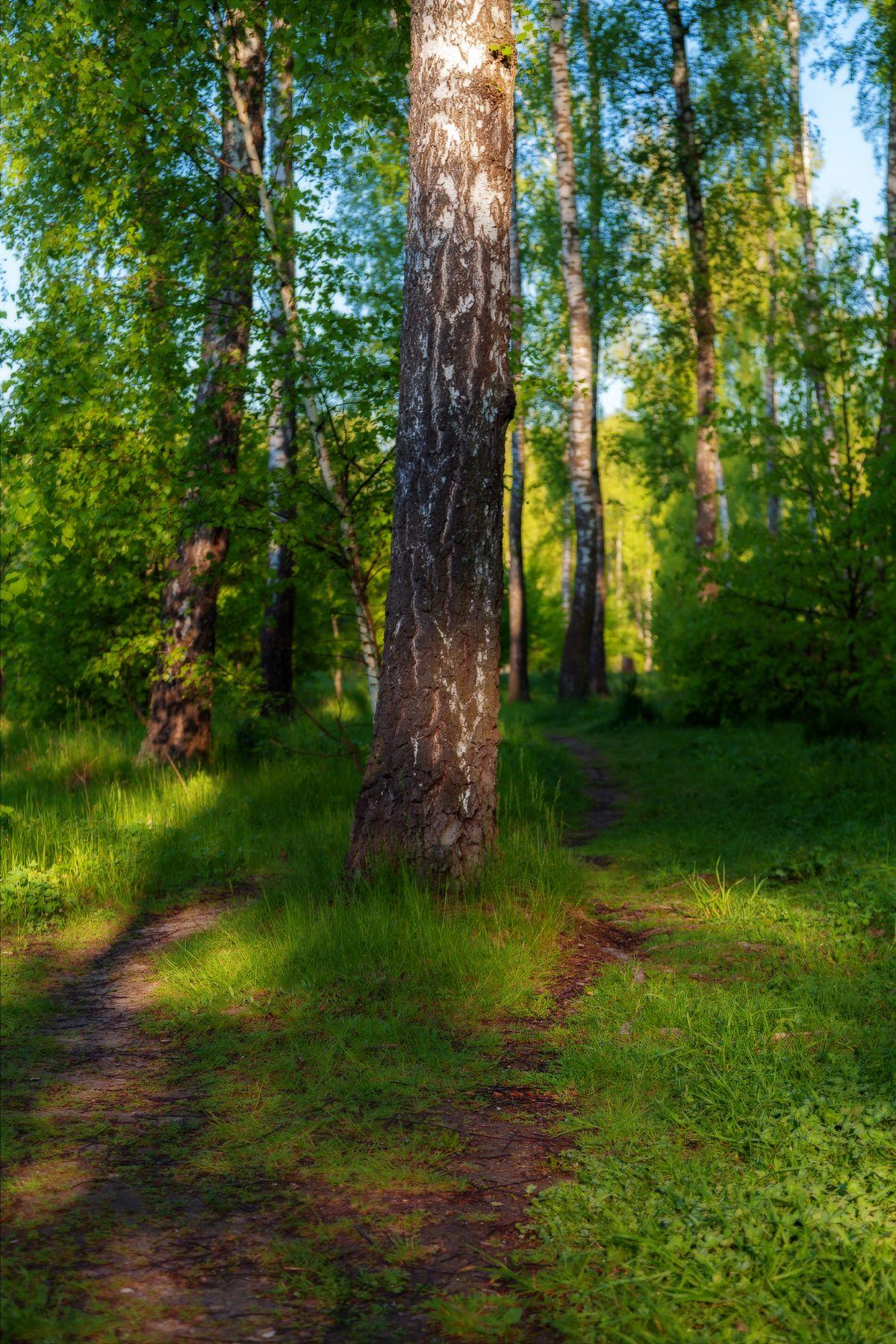 Отчего так в Росии...1 Роща берёзы лес тропинка